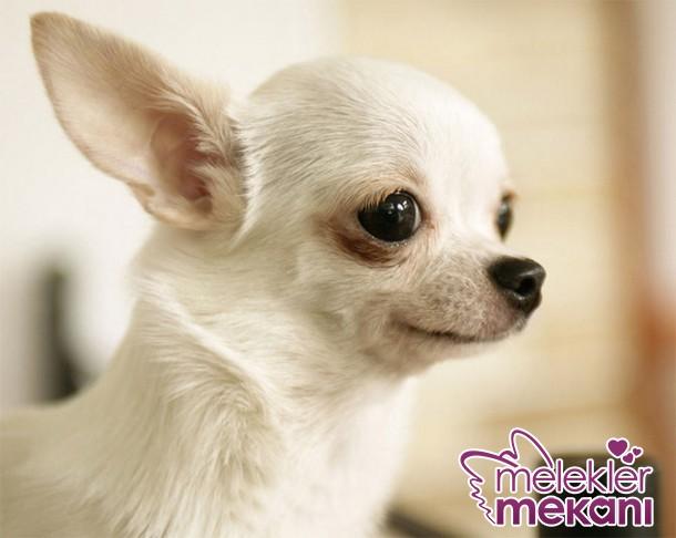 en-sirin-kopek-cinsleri-top-20-2-jpg.72779 çok tatli köpekler Melekler Mekanı Forum