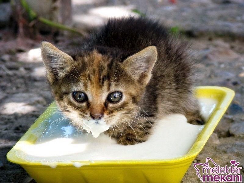 kedi yoğurt yermi.jpg