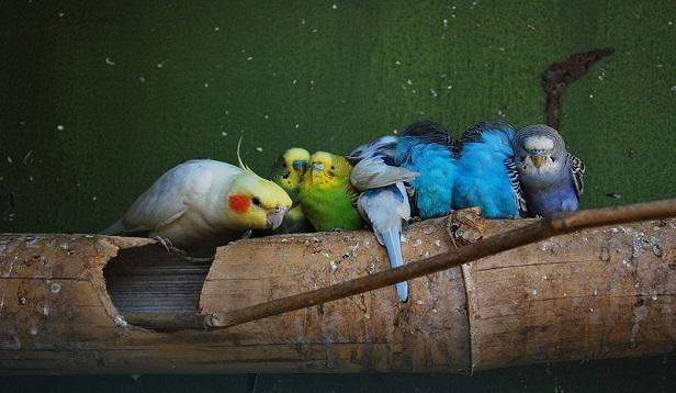 muhabbet-kuşu-bitleri-nasıl-temizlenir.jpg