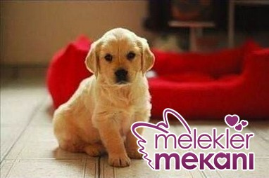 puppies_youll_want_to_take_home_with_you_36_d-jpg.72783 çok tatli köpekler Melekler Mekanı Forum