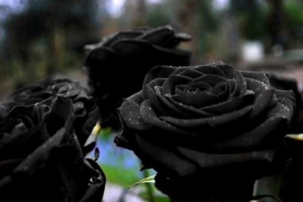 siyah gül 1.jpg