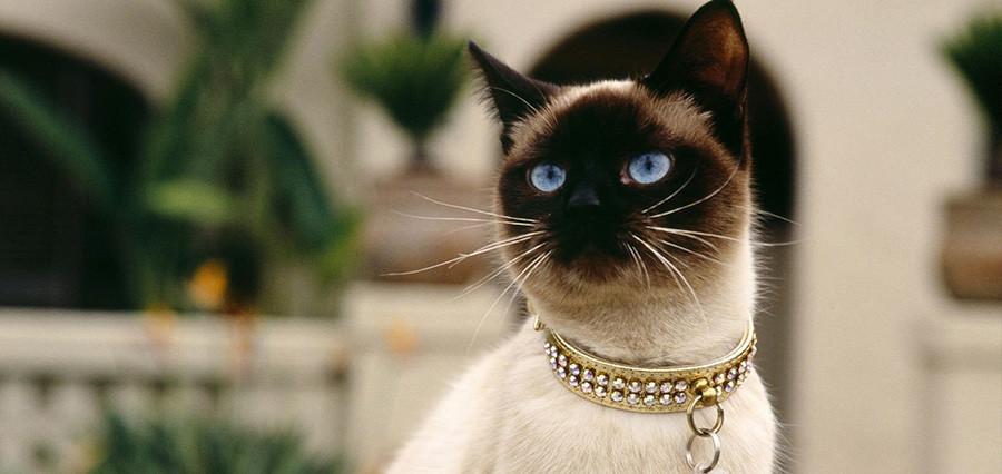 siyam-kedisi-900x426.jpg