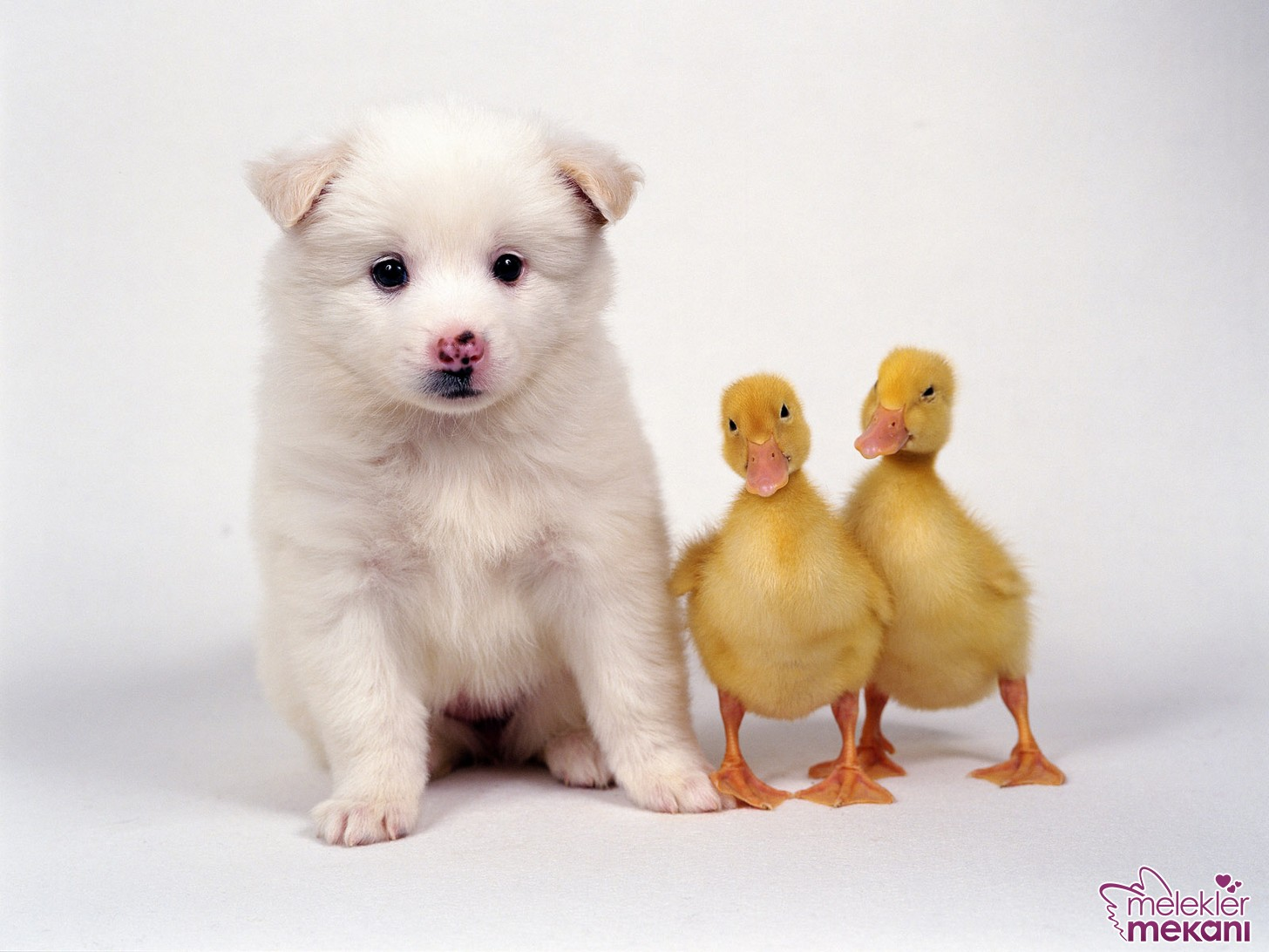 two-duck-chicks-and-a-puppy.JPG